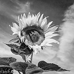 Summer_Sunflower-2.jpg
