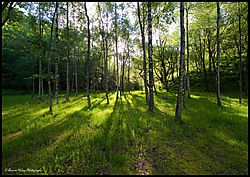 Sun_Dappled_Trees.jpg