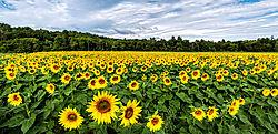 Sunflower-Panorama_John-Straub.jpg