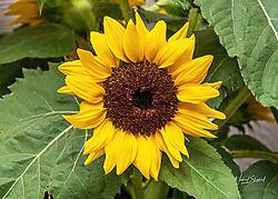 SunflowerHDR_MDS_5012-.jpg