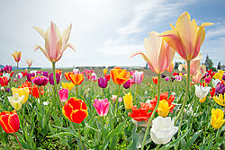 Super_Tulips.jpg