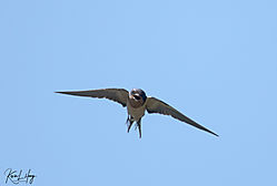 Swallows-II_20200711-0003.jpg