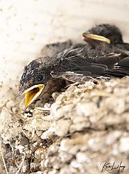 Swallows-II_20200711-0009.jpg