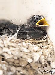 Swallows-II_20200711-0011.jpg