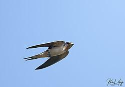 Swallows_20200703-0006.jpg