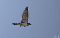 Swallows_20200703-0017.jpg