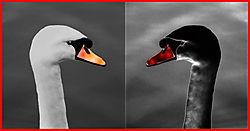 Swans21.jpg