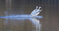 Swans_landing_Juanita_2-10-18_3.jpg