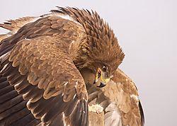 Tawney_Eagle.JPG
