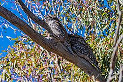 Tawny_Frog_Mouths-1179.jpg