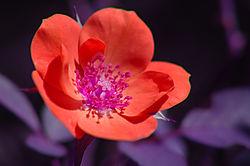 Tea_Rose_004a.jpg