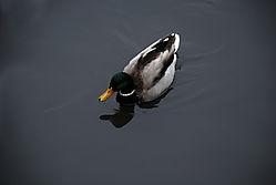 The_Duck.JPG