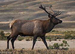The_Royal_Elk.jpg