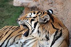 Tigers_212.JPG