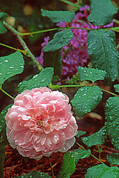 Tom_s_Favorite_Rose.jpg
