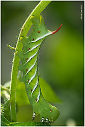 TomatoHornworm4a_10-2-10.jpg