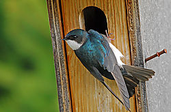 Tree_Swallow_21.jpg
