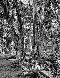 Trees_of_Koke_BW.jpg