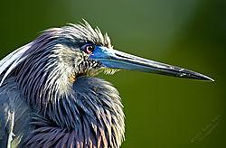 Tri-Colored-Heron-2.jpg