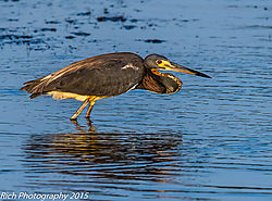 Tri-Colored_Heron3.jpg