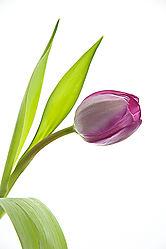 Tulip---Magenta-_1.jpg