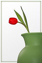 Tulip-Red-_1.jpg