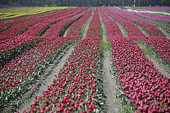 Tulip_2_Kenneth_Fok.jpg