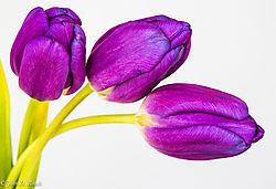 Tulips_that_did_not_open_5.jpg