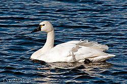 Tundra_Swan1.jpg