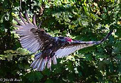 Turkey_Vultures-6.jpg