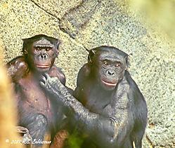 Two-Bonobos-PPW.jpg