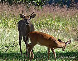 Two-deer-in-Valley-Forge--PPW-version.jpg