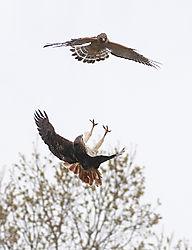 Two_Hawks.jpg