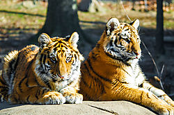Two_Tigers_Young_.jpg