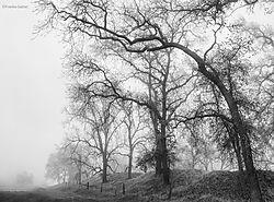 Valley_Oaks_and_Tule_Fog_5_San_Joaquin_Valleybw_copy.jpg
