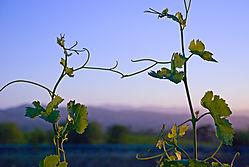 Vine-Shot.jpg