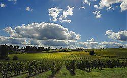 Vineyard---Montgaillard.jpg
