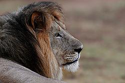 WEGR_Lion-profile.jpg