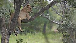 WEGR_Lion_in_tree.jpg
