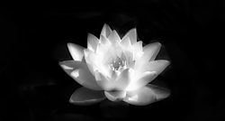 WaterLilly1.png