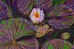 Water_Lily_31.jpg
