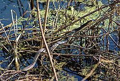 Water_Snake_Warming.jpg