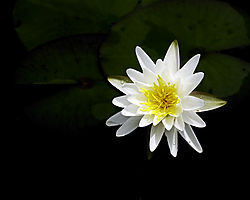 Water_lily3.jpg