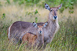 Waterbuck_mother_and_foal_1_of_1_.jpg