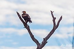 Wedge_Tailed_Eagle_Flinders_Ranges-5.jpg