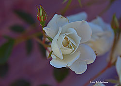 White-Rose-in-Napa-PPW.jpg