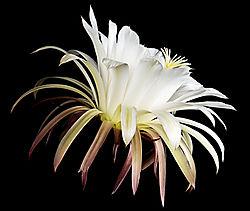 White-Trichocereus-Peek-a-Boo.jpg