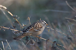 White-crowned_Sparrow_DSC_3202_NEF.jpg