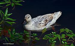 WhiteWhite--Duck-At-Vasona-Park.jpg