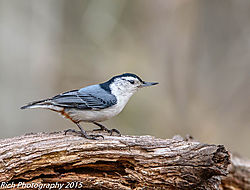 White_Breasted_Nuthatch_2.jpg